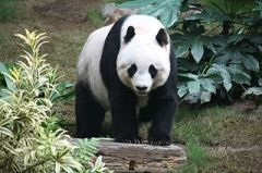 A panda, whose name may or may not be Wu Wei. We'll probably never know. (Picture JP Fischer, Wiki Creative Commons.)