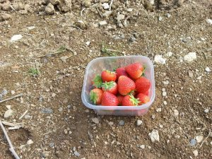 StrawberryPunnet