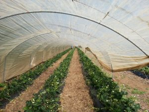StrawberryTunnel