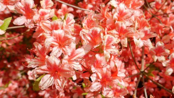 Lanhydrock Pink Flowers
